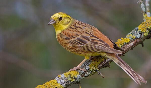птичка-овсянка