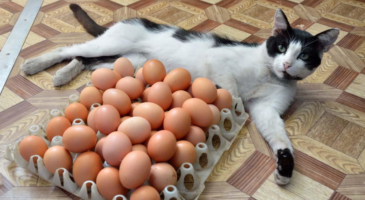 кот с яйцами