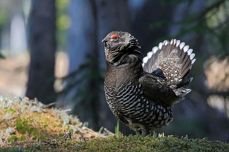 Дикуша - редкая птица России
